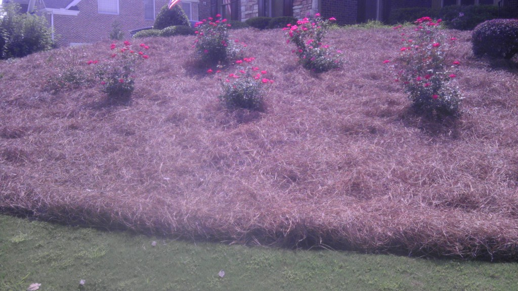 Bank of Roses with Pine Straw in Cumming GA After Photo