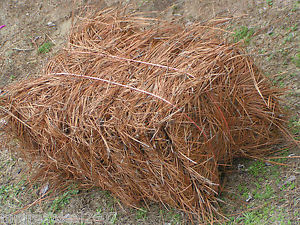 Golden Pine Straw | Long Needle Pine Straw